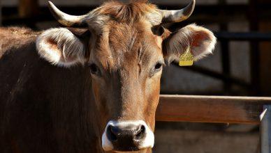 Rogi krowy referendum w szwajcarii
